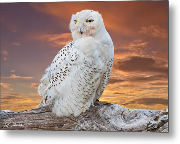 Snowy Owl Perched At Sunset Metal Print
