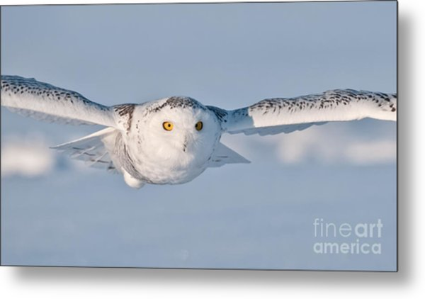 Snowy Owl Pictures 10 Metal Print
