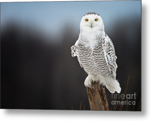 Snowy Owl Pictures 13 Metal Print