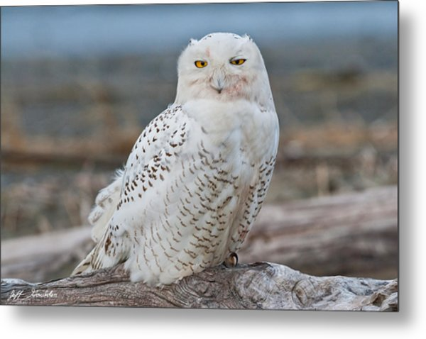 Snowy Owl Watching From A Driftwood Perch Metal Print