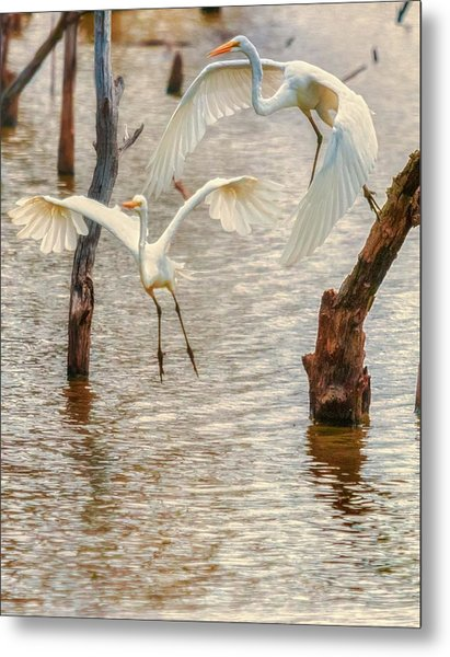 Soft Landing Two Egrets Metal Print