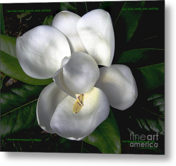 Song Of The Magnolia Metal Print