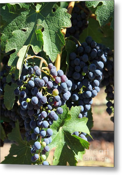 Sonoma Vineyards In The Sonoma California Wine Country 5d24630 Vertical Metal Print by Wingsdomain Art and Photography