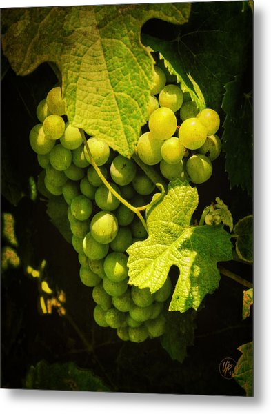 Sonoma Wine Grapes 002 Metal Print by Lance Vaughn