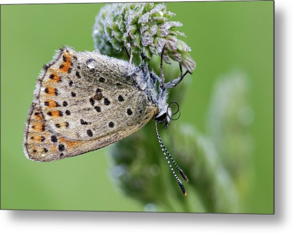 Sooty Copper Butterfly Metal Print