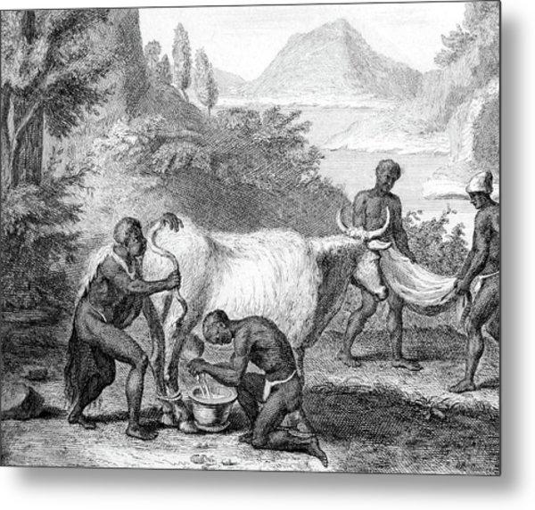 South Africa, Khoikhoi Cow Blowing Metal Print
