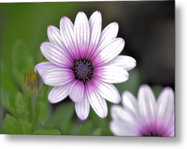South African Sailor Boy Daisy Metal Print by Dave Woodbridge