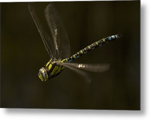 Southern Hawker Dragonfly In Flight Metal Print