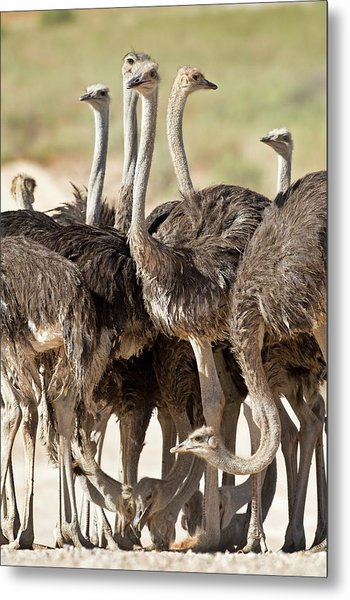 Southern Ostriches Performing Geophagia Metal Print