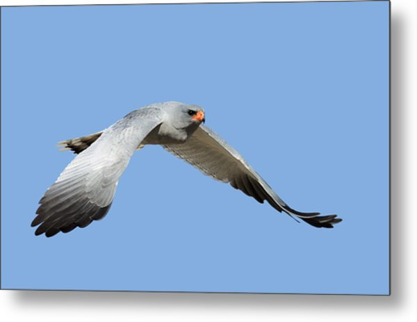 Southern Pale Chanting Goshawk In Flight Metal Print