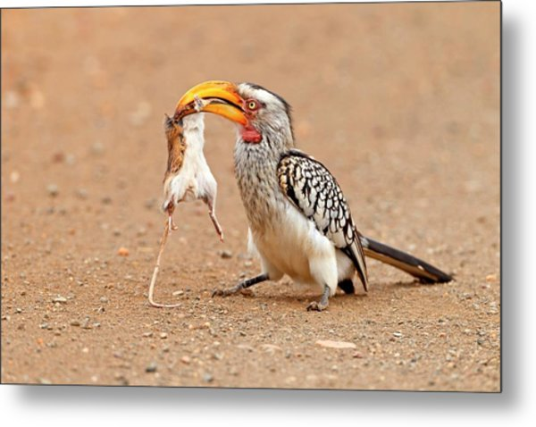Southern Yellow-billed Hornbill With Prey Metal Print