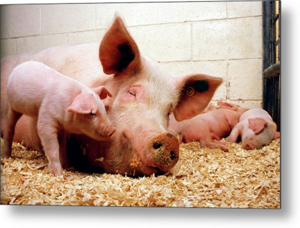 Sow And Piglets Metal Print