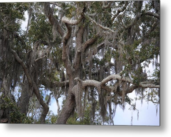Spanish Moss On Live Oaks Metal Print