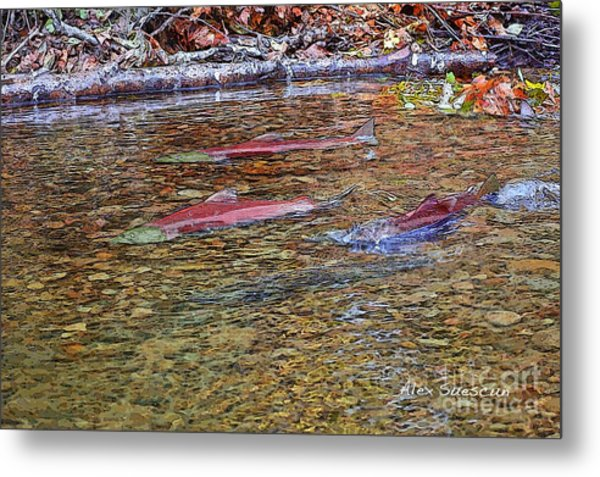 Spawning Sockeyes Metal Print