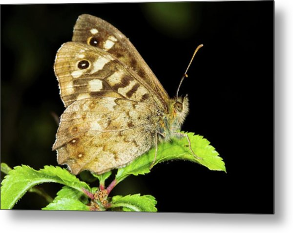 Speckled Wood Butterfly Metal Print by John Devries/science Photo Library