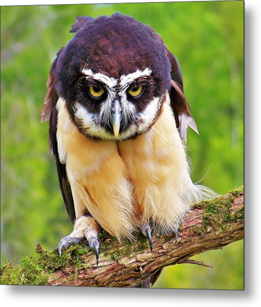 Spectacle Owl Metal Print