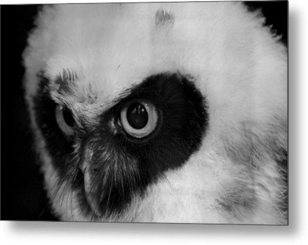 Spectacled Owl Metal Print by Simon Gregory