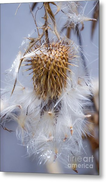 Spent Thistle Metal Print