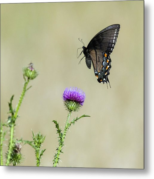Spicebush Swallowtail 1 Metal Print