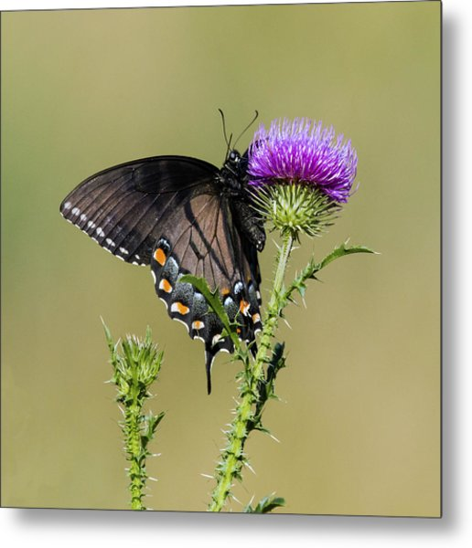 Spicebush Swallowtail 3 Metal Print