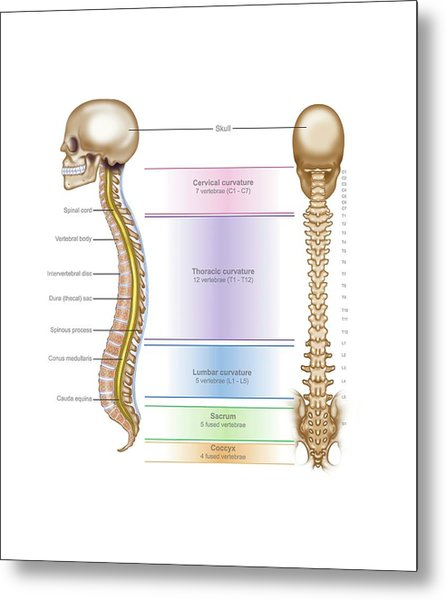 Spinal Anatomy Metal Print