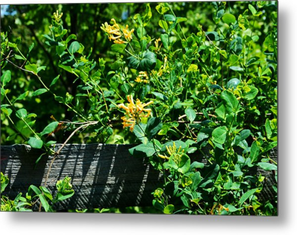 Split Rail Honeysuckle Metal Print
