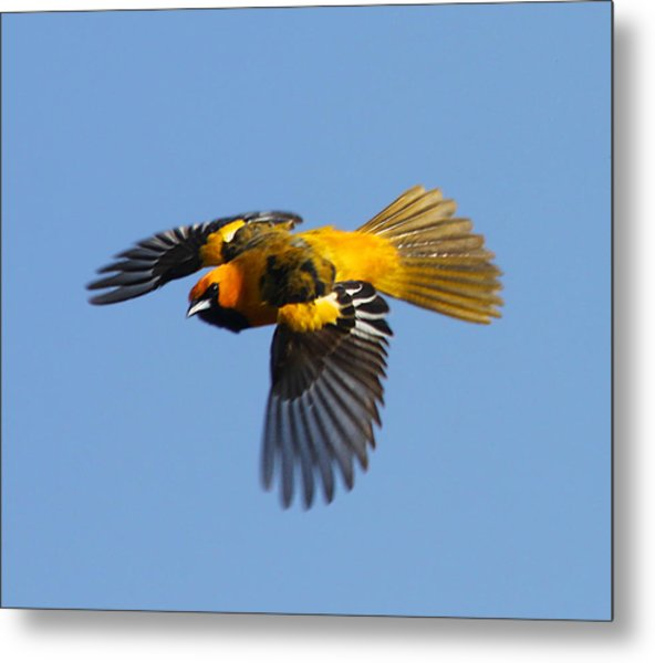Spot Breasted Oriole In Flight Metal Print