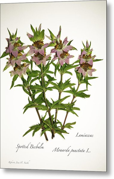 Spotted Beebalm 1 Metal Print