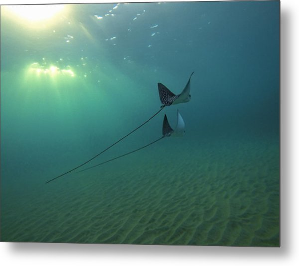 Spotted Eagle Rays During Sunset Metal Print