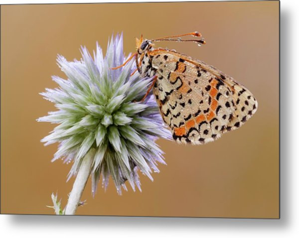 Spotted Fritillary Metal Print