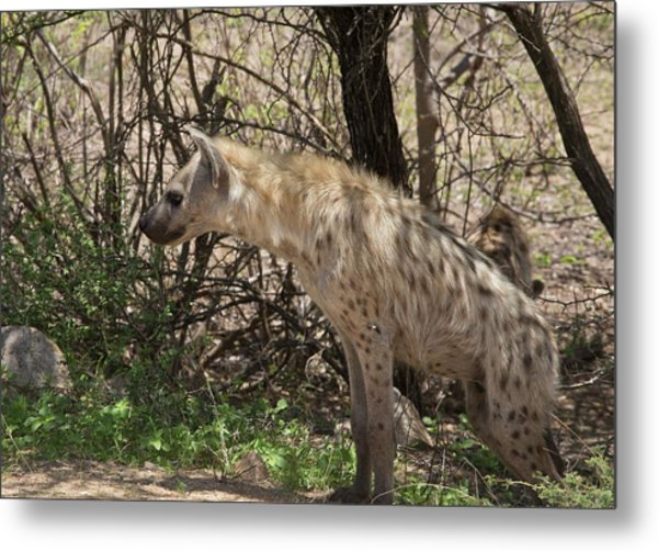 Spotted Hyena In The Shade Metal Print