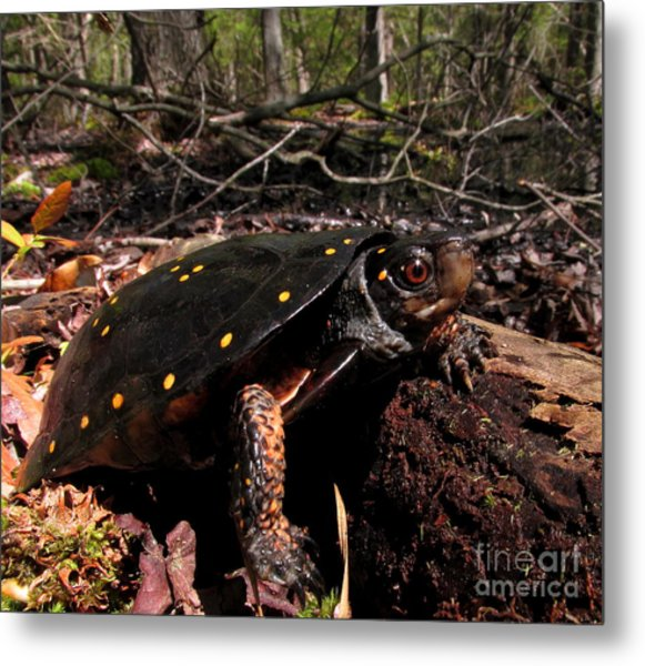 Spotted Turtle Metal Print