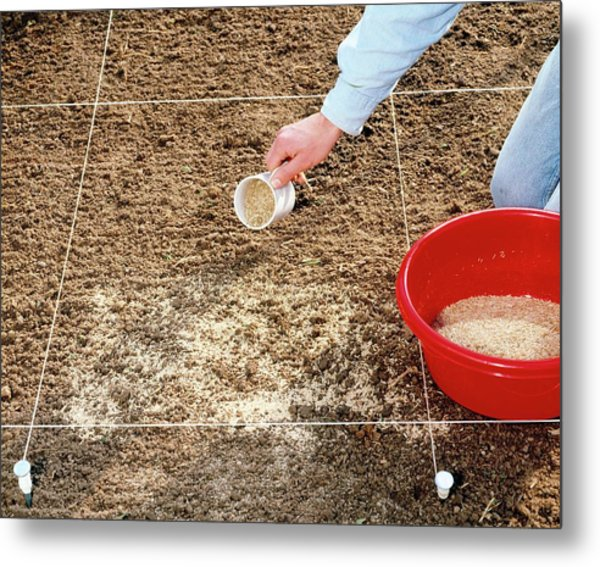 Spreading Grass Seeds Metal Print by Science Photo Library