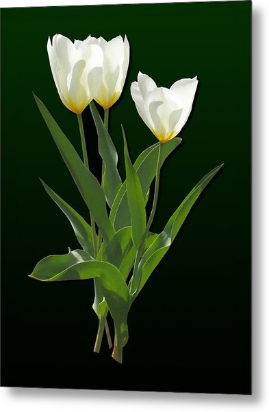 Spring - Backlit White Tulips Metal Print by Susan Savad