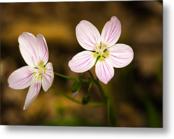 Spring Beauty Metal Print by Thomas Pettengill