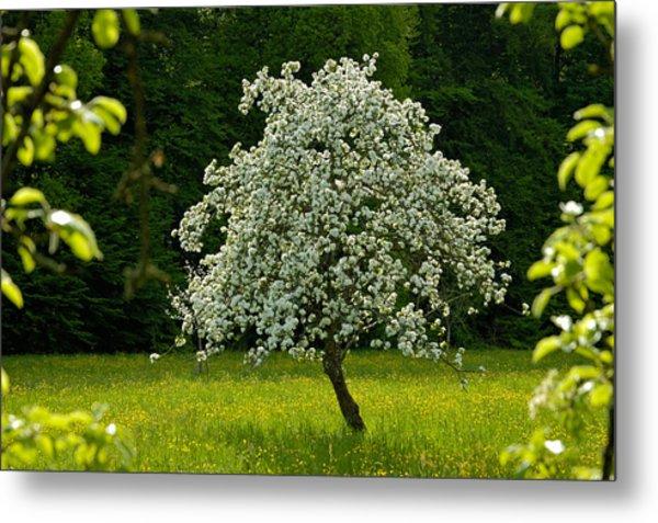 Spring - Blooming Apple Tree And Green Meadow Metal Print