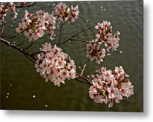 Spring Blossoms Metal Print by Kathi Isserman