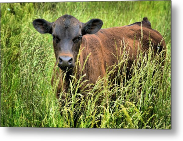 Spring Calf In Grassy Pasture Metal Print by Virginia Folkman