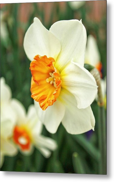 Spring Daffodil Metal Print by Cathie Tyler