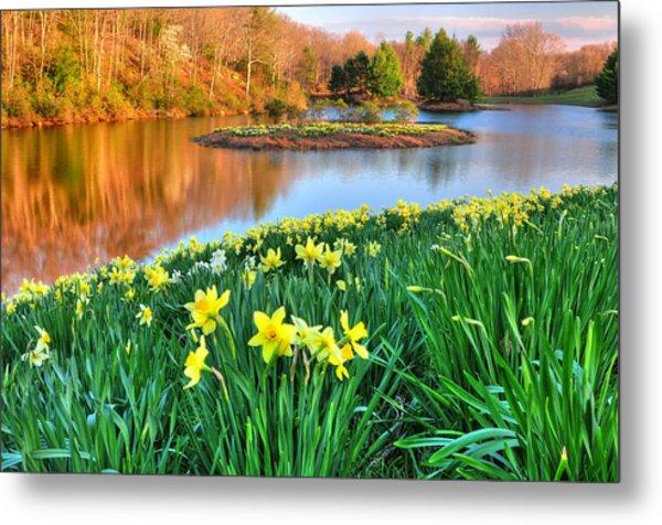 Spring Daffodils At Laurel Ridge-connecticut  Metal Print