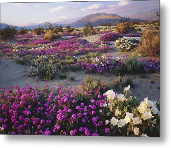 Spring Flowers Carpet Anza Borrego State Park Metal Print by Ron and Patty Thomas