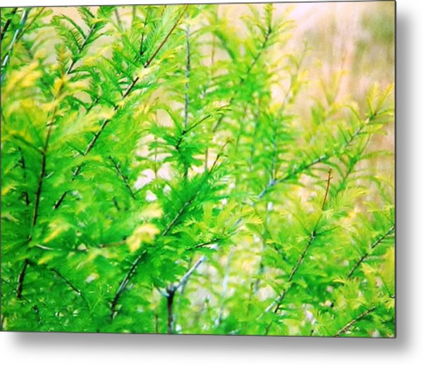 Spring Cypress Beauty Metal Print