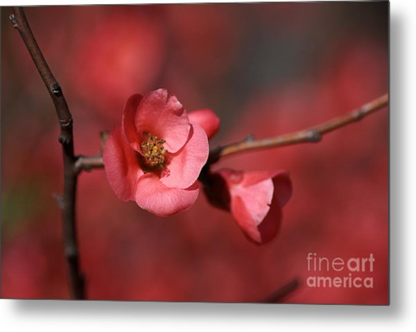 Spring Richness - Flowering Quince Metal Print