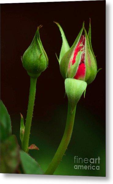 Spring Rose Bud Metal Print