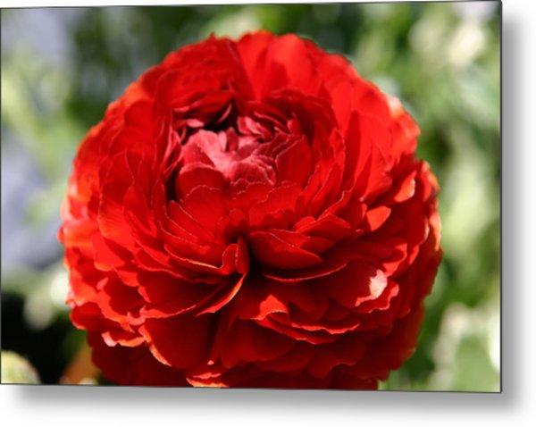 Spring Scarlet Double Begonia Metal Print