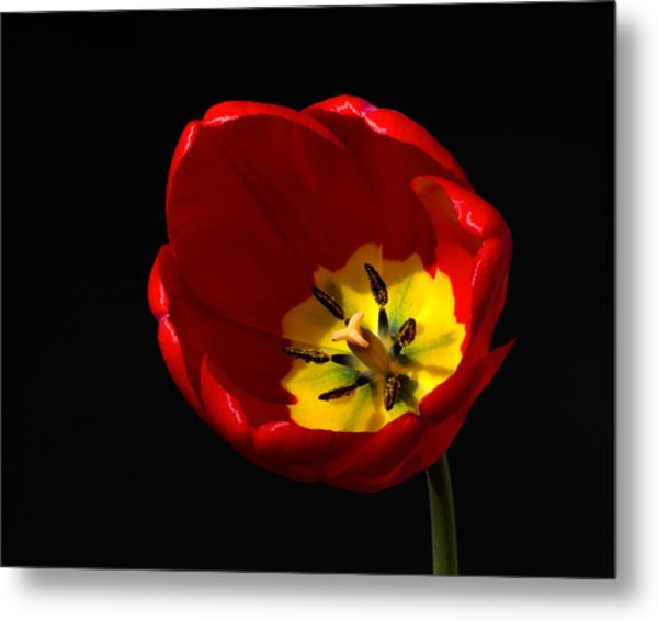 Spring Tulip 1 Metal Print