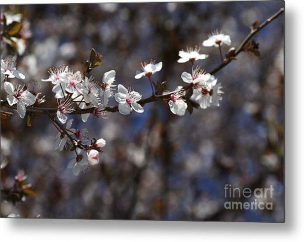 Spring White Blossom Metal Print