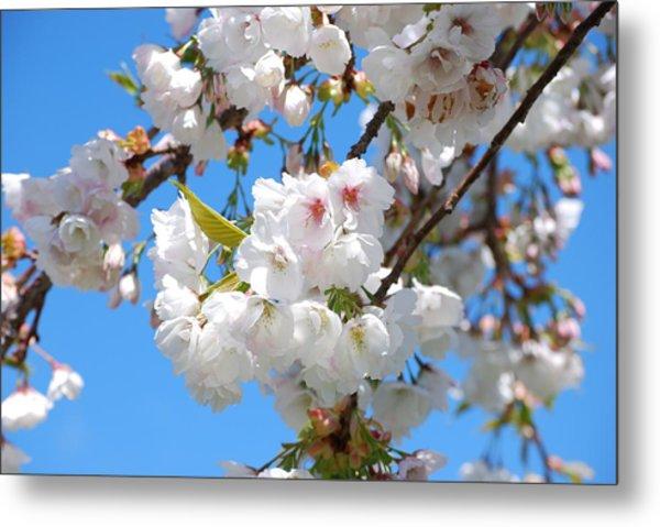Springtime Blossoms Metal Print
