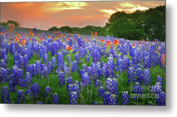 Springtime Sunset In Texas - Texas Bluebonnet Wildflowers Landscape Flowers Paintbrush Metal Print