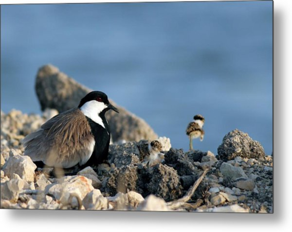 Spur-winged Plover And Chick Metal Print